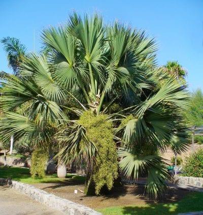 Vista del Sabal palmetto