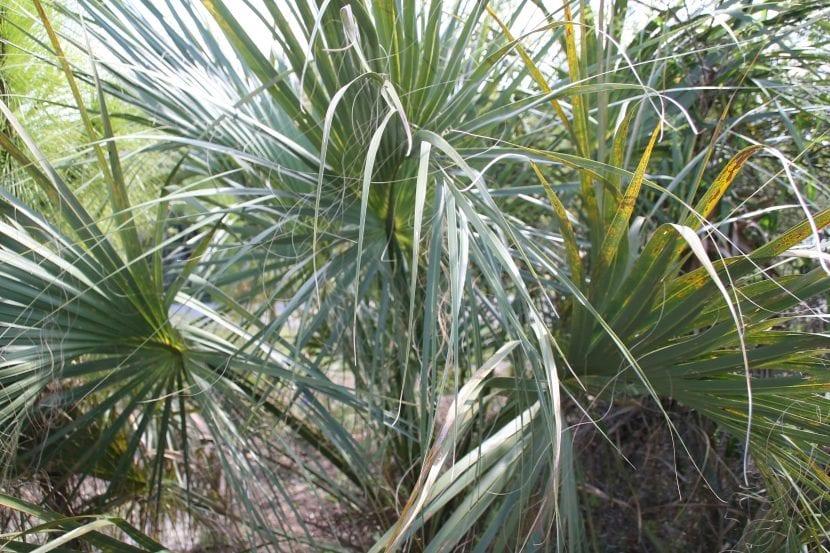Sabal palmetto