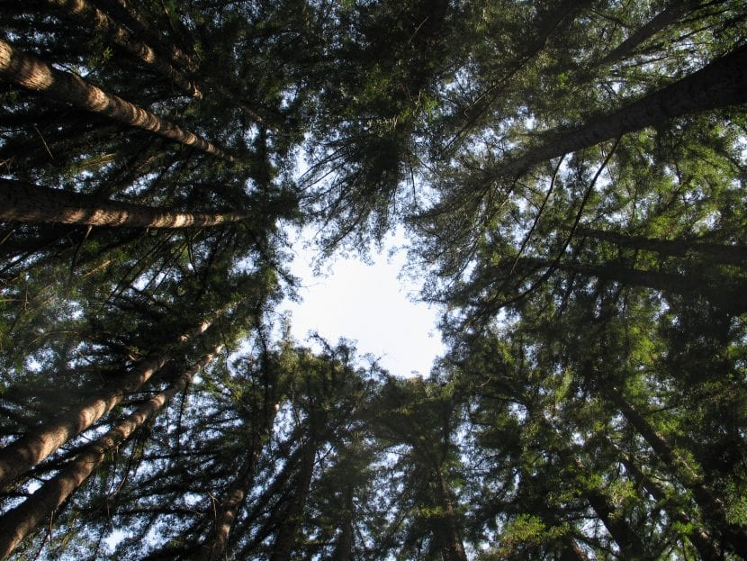 Vista del Sequoia sempervirens en hábitat