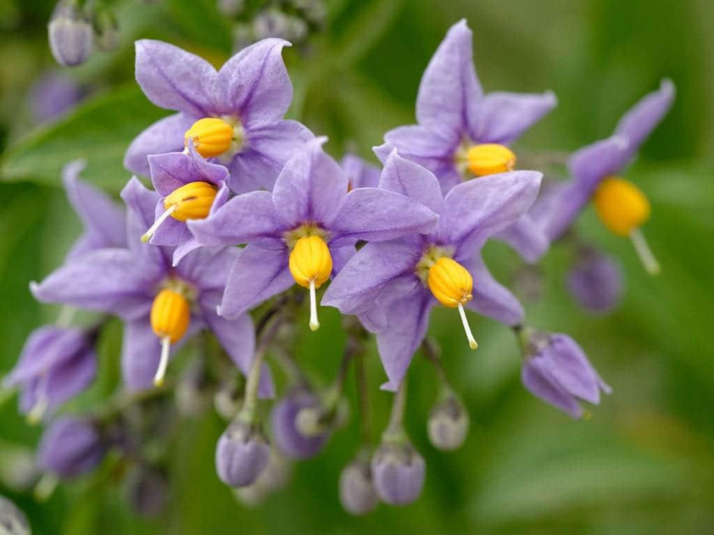 Flores de Solanum crispum