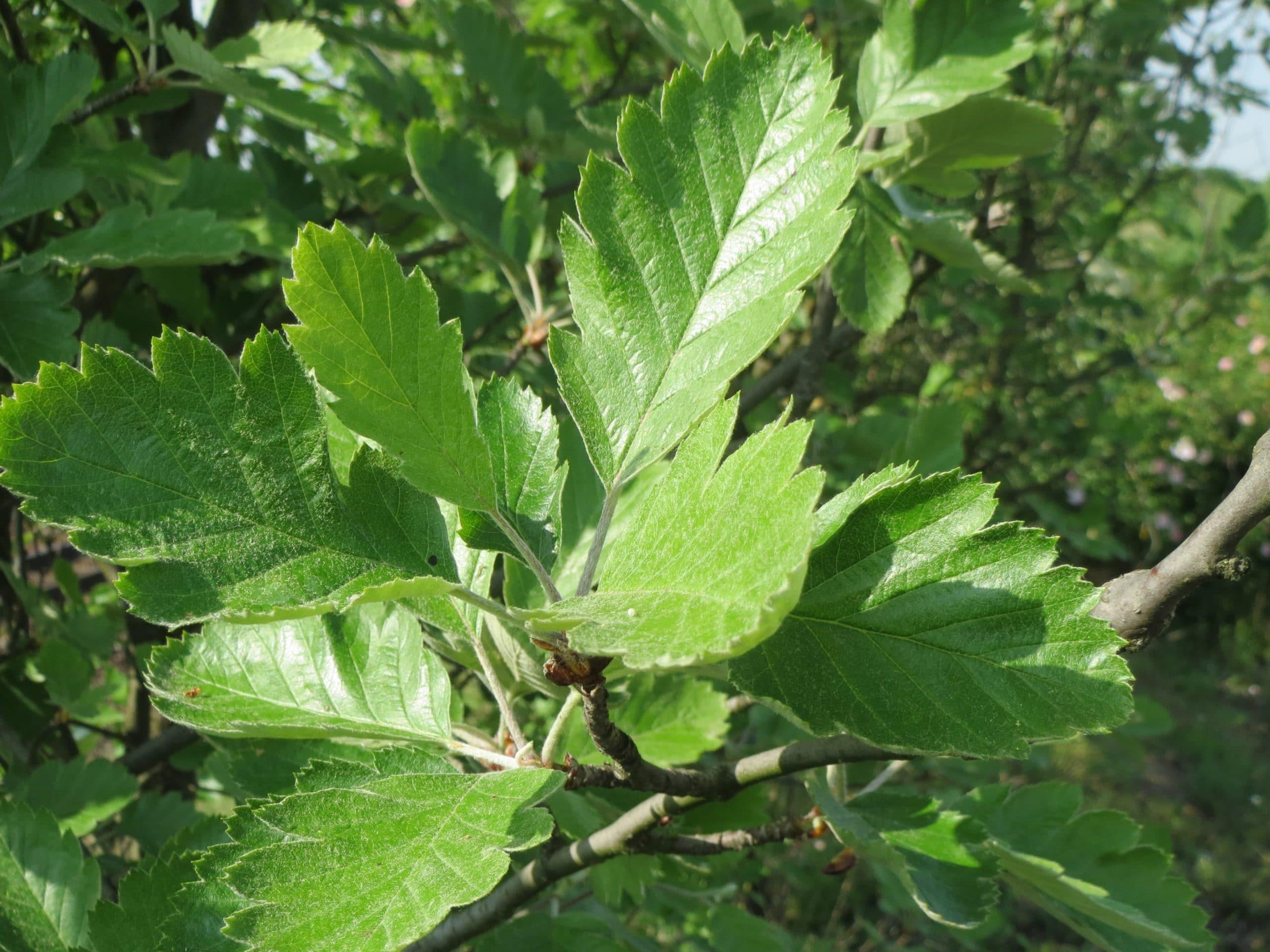 Las hojas del Sorbus intermedia son caducas