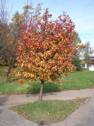 Vista del Sorbus intermedia en otoño