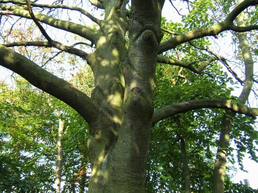 Tronco del Sorbus intermedia
