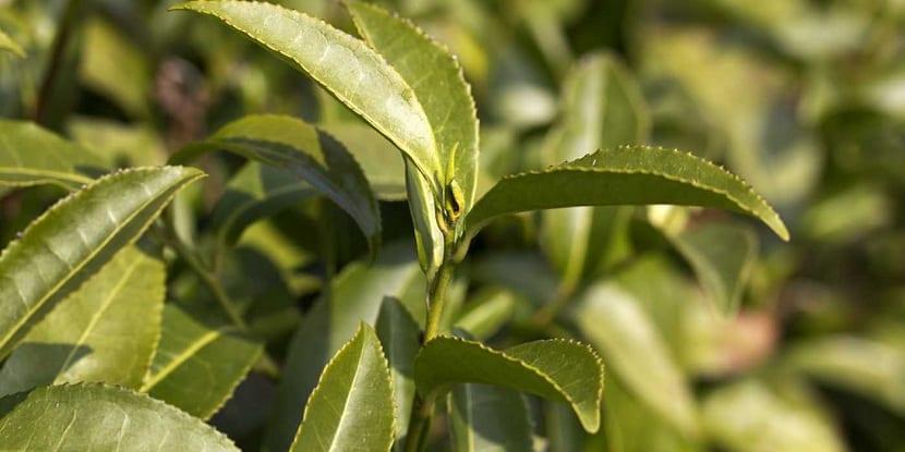 Té verde con Camellia sinensis