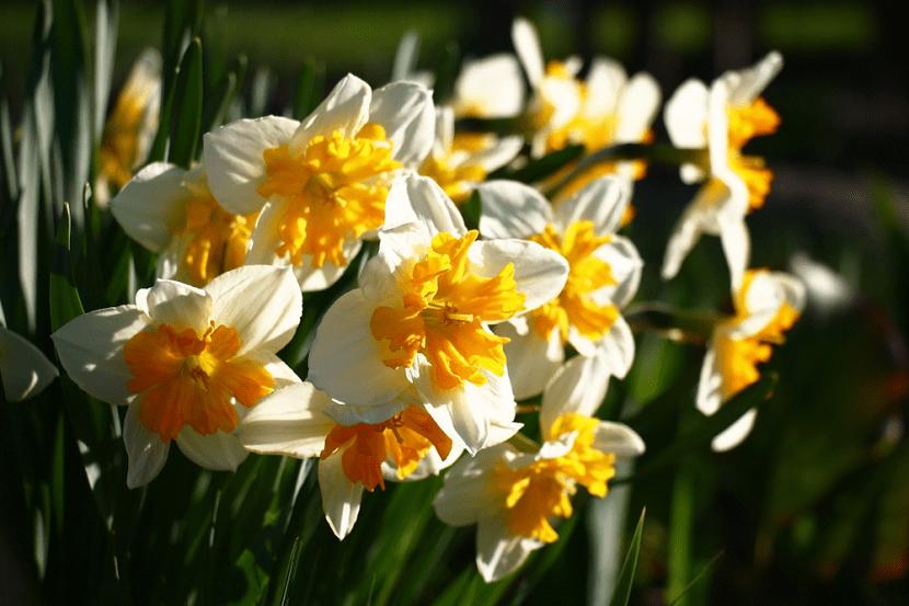 Un gran número de narcisos lucen brillantes gracias a los rayos del sol de la mañana