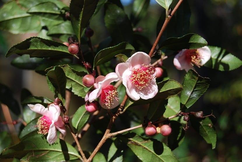 Variedad de Camellia sinensis rosea