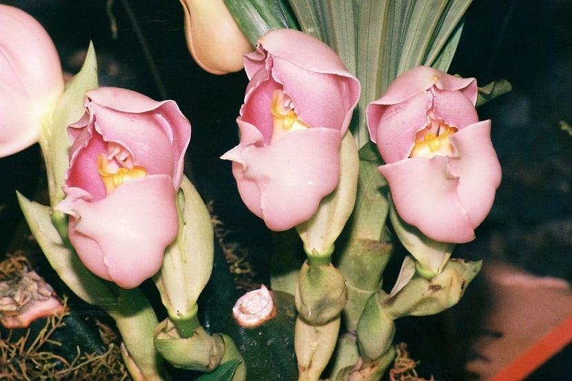 Variedades de anguloa uniflora