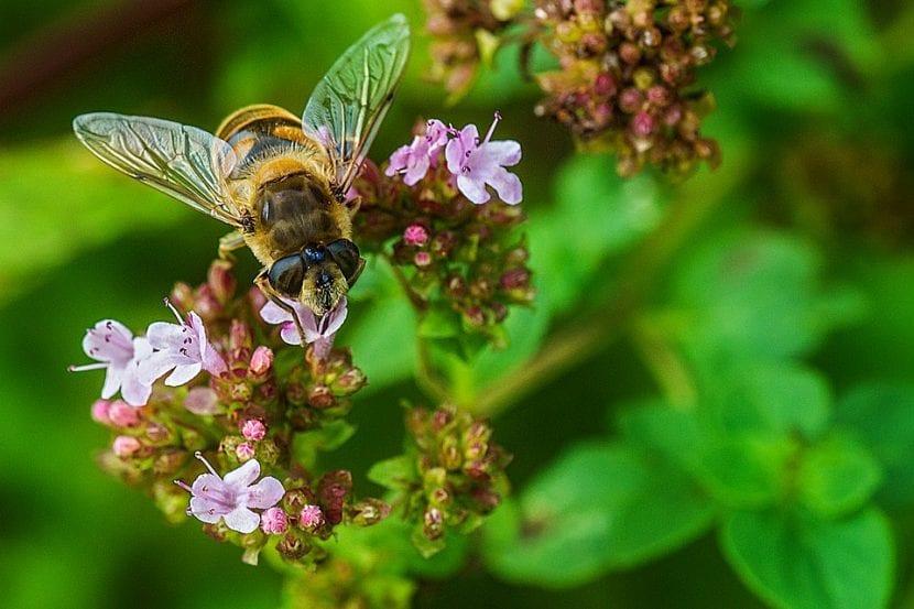 Las abejas polinizan las flores