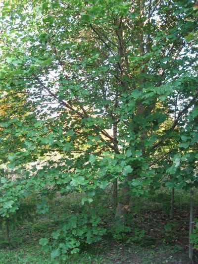 El Acer opalus es un árbol mediano