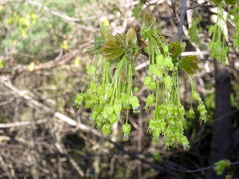 Las flores del Acer opalus brotan en primavera