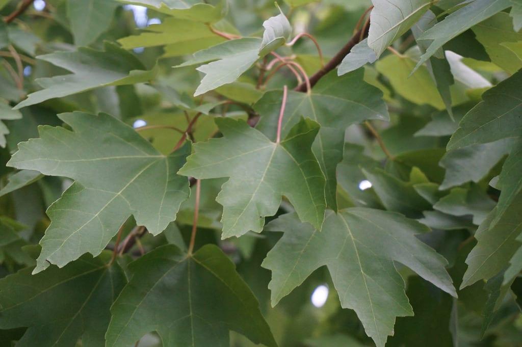 Las hojas del Acer rubrum son caducas