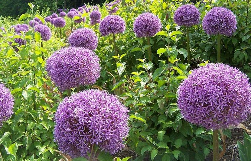 Flores del Alium gigante