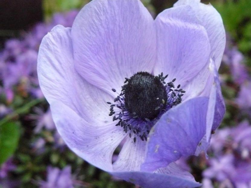 Anemona coronaria de flor azul