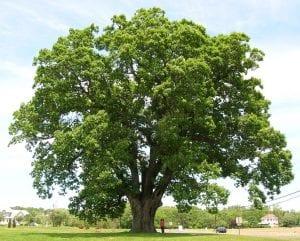 arbol gigante comunmente conocido como roble banco o Quercus alba