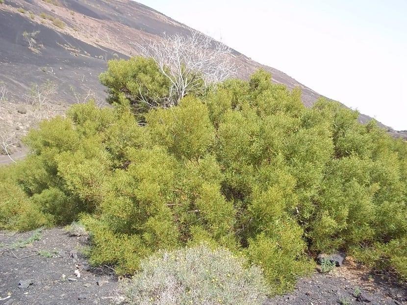 arbusto de color verde que crece en una ladera