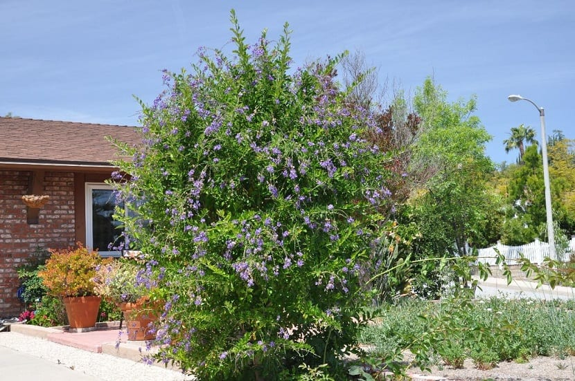 arbusto gigante situado en la entrada de una casa