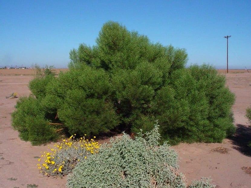 arbusto o matorral verde llamado acacia