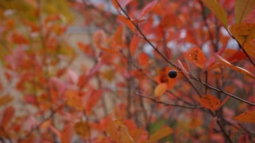 La Aronia cambia de color en otoño