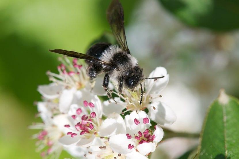 Las flores de la Aronia atraen a las abejas