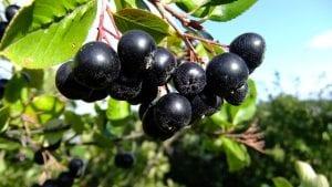 Los frutos de la Aronia son comestibles