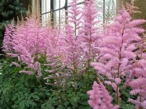 La planta de Astilbe produce muchas flores