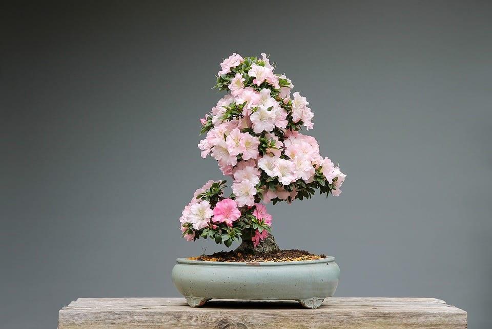 Vista de un bonsái de azalea