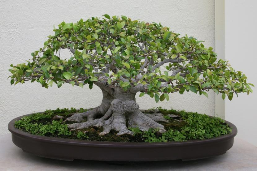 bonsai de microcarpa