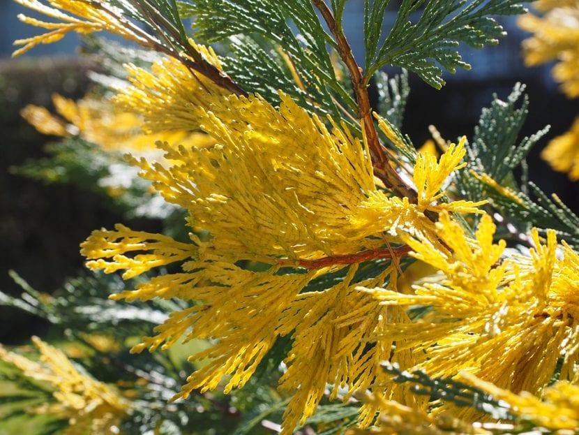 Vista de las hojas del Calocedrus decurrens
