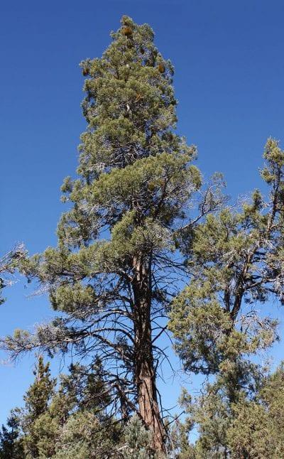 Calocedrus decurrens en hábitat