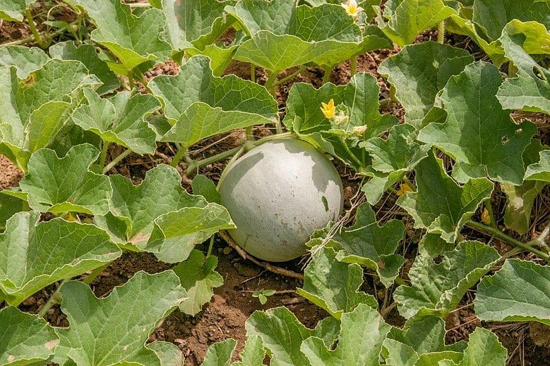 Vista de la planta de melón