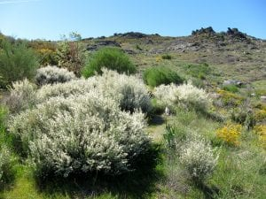 Cytisus multiflorus en hábitat