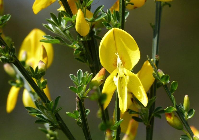 Las flores del Cytisus scoparius son amarillas