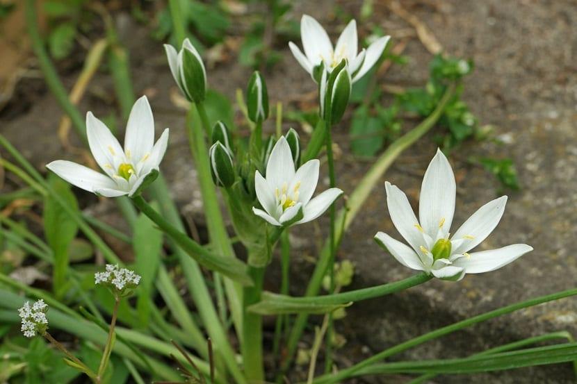 diferentes flores blancas, algunas abiertas y otras cerradas con seis petalos cada