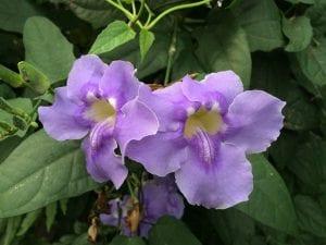 dos flores de forma acampanada y de color azul-violeta