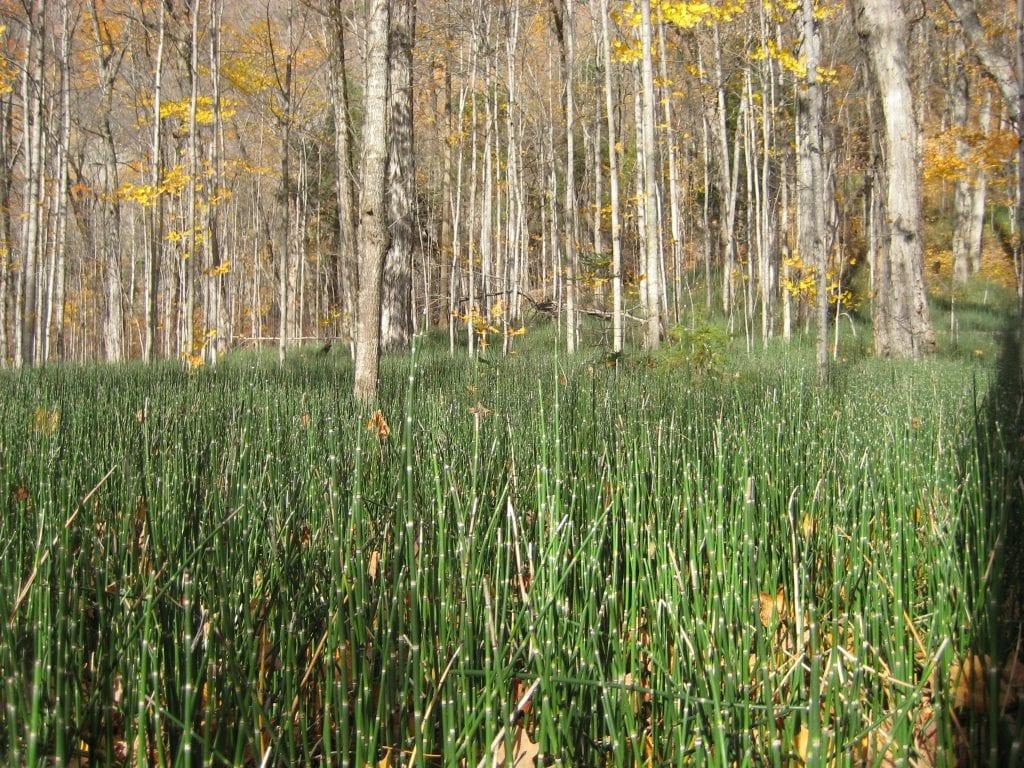 Vista del Equisetum hyemale en hábitat
