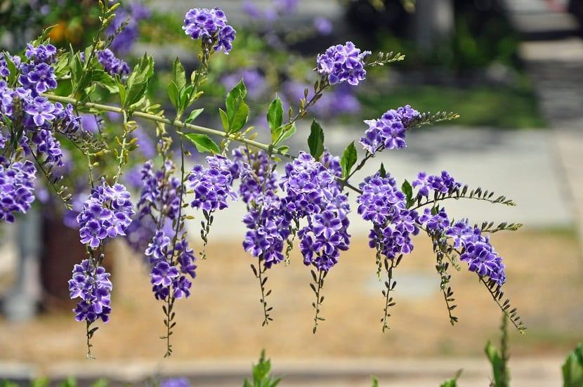 flores moradas que cuelgan de la rama de un arbusto