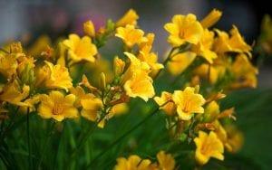 Las Freesias pueden ser de distintos colores, como el amarillo