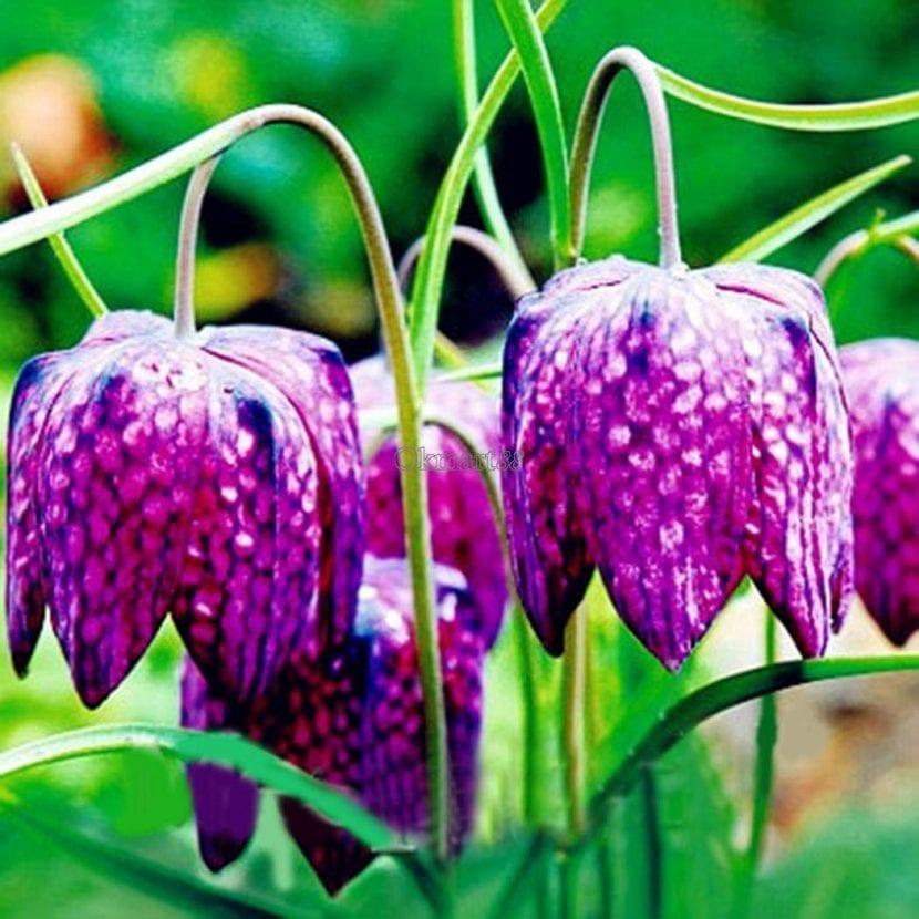 Las flores de la Fritillaria son muy decorativas