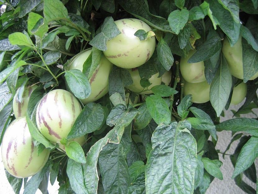fruta algo rara y poco inusual llamada Solanum muricatum