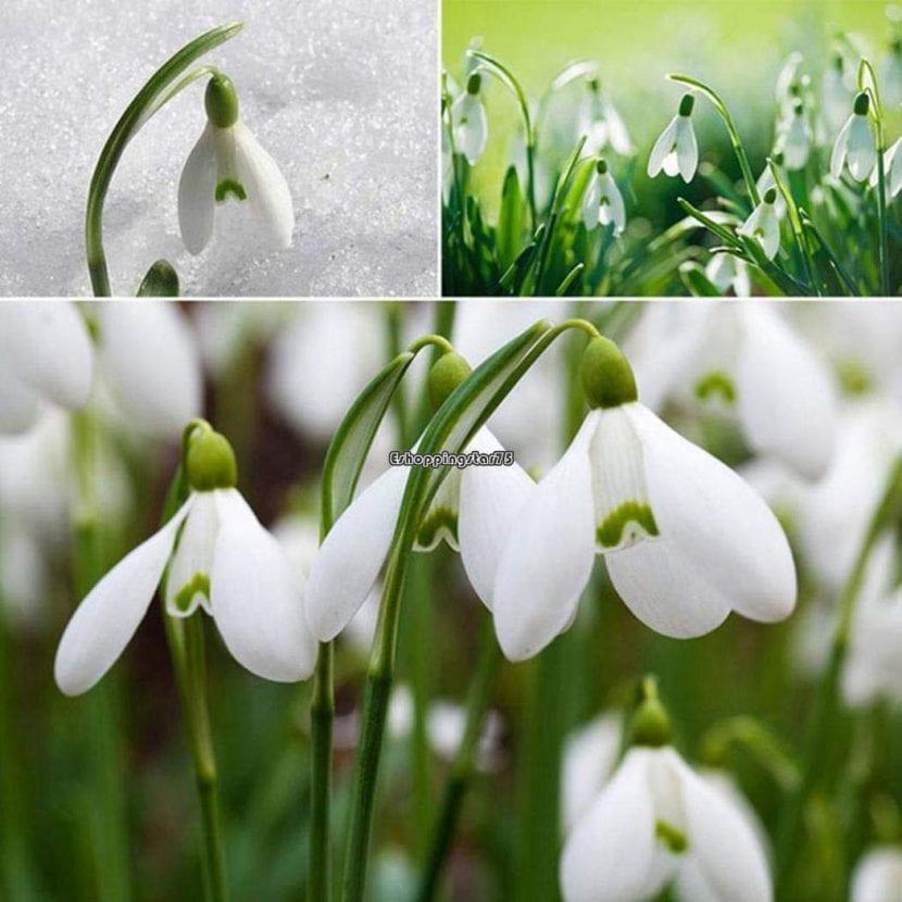 Los Galanthus son flores pequeñas pero elegantes