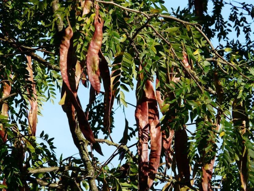 Los frutos de la Gleditsia triacanthos son legumbres secas