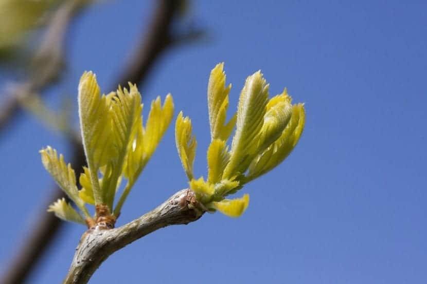 Las hojas de la Gleditsia triacanthos son caducas
