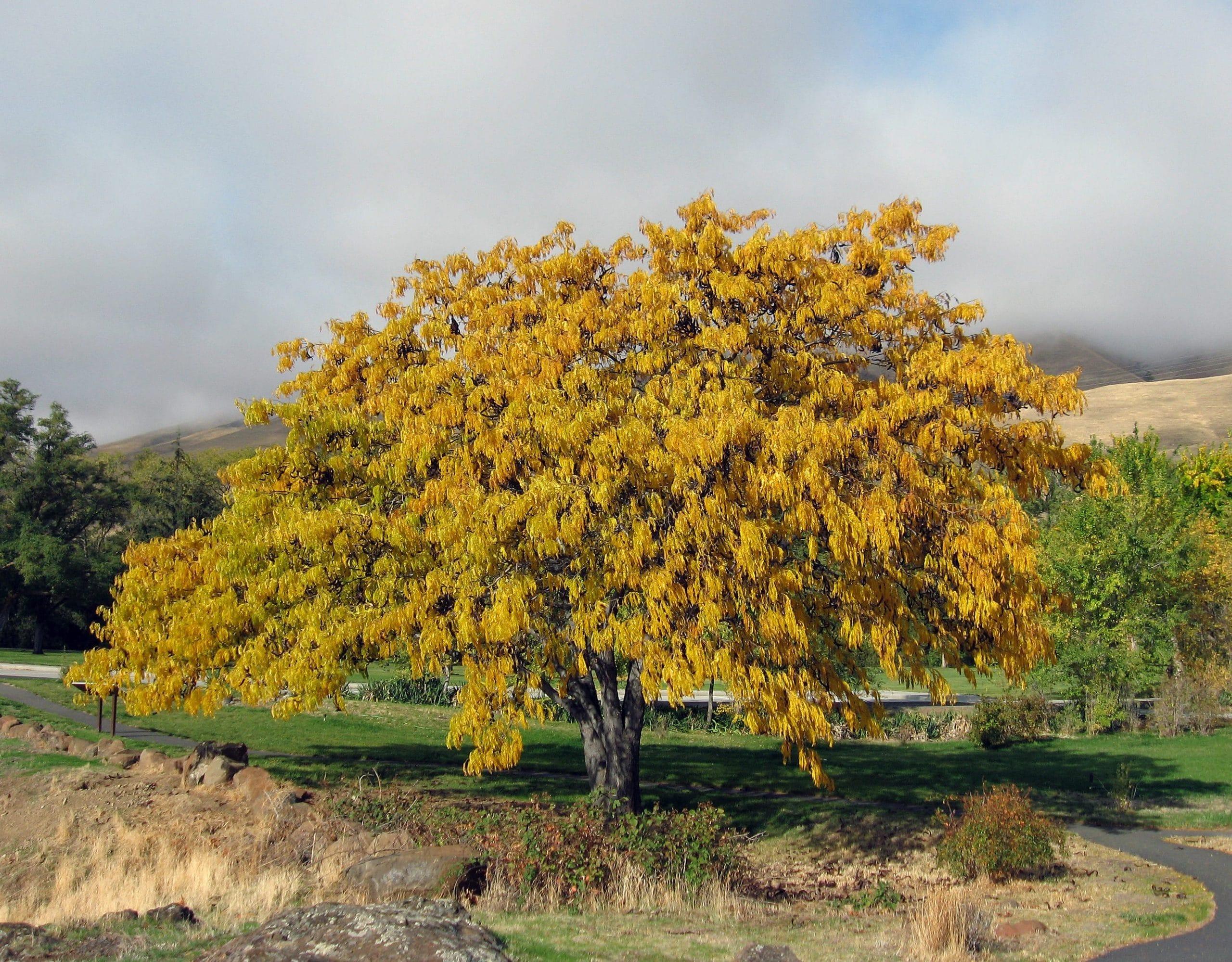 La acacia de tres espinas es un árbol muy decorativo