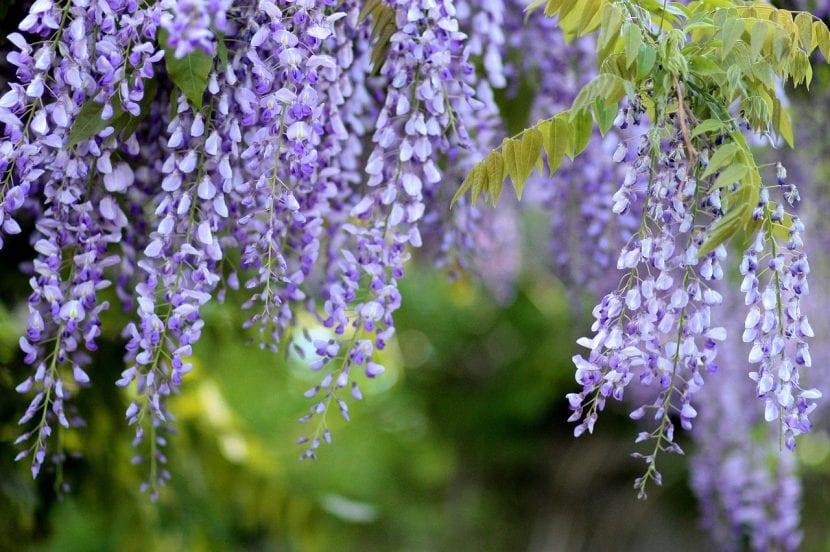 La glicinia es un arbusto trepador de flores colgantes