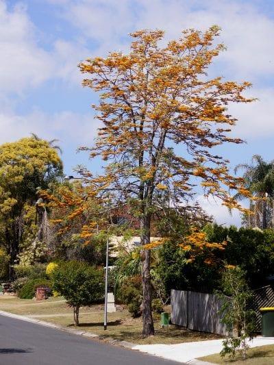 La Grevillea robusta es un árbol caducifolio