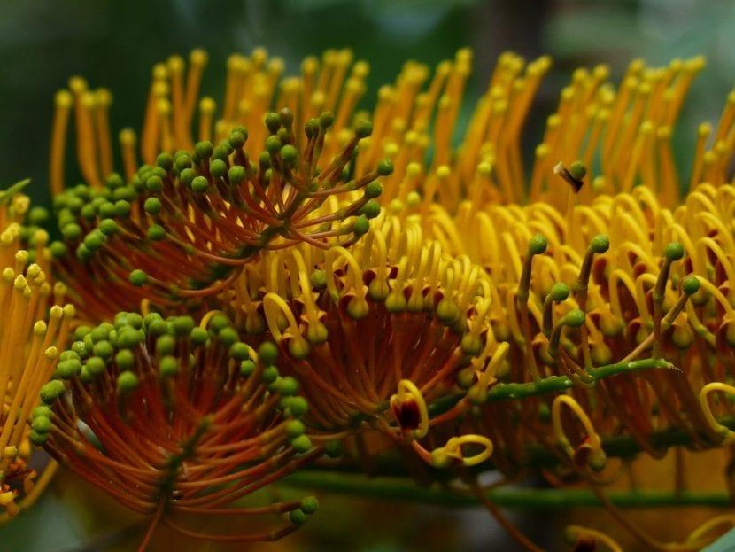 Las flores de la Grevillea robusta son amarillo-anaranjadas