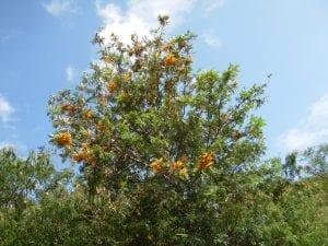 Las hojas de la Grevillea robusta son verdes