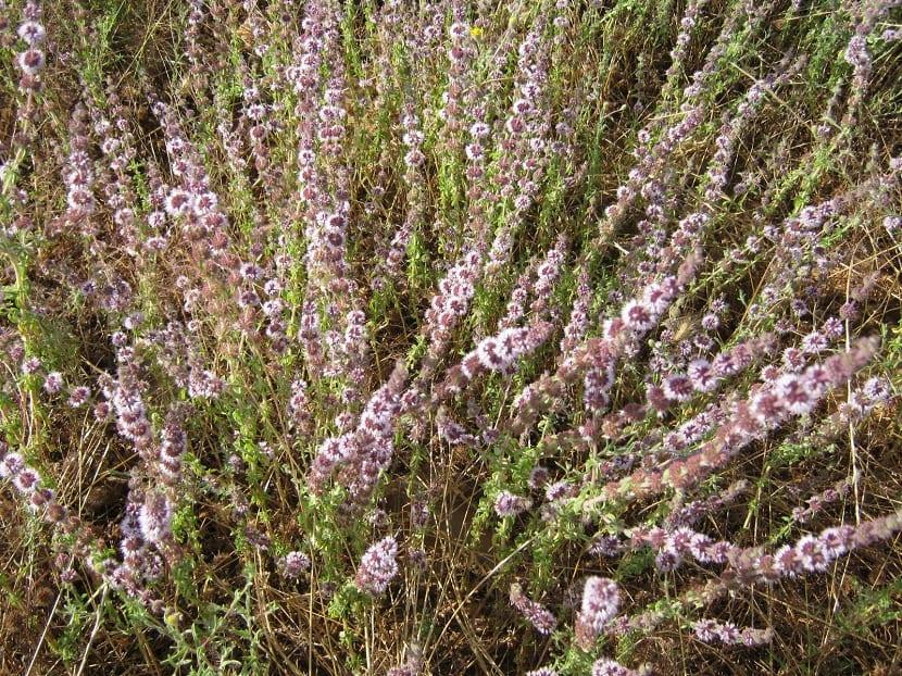 hierba aromatica que crece en el monte