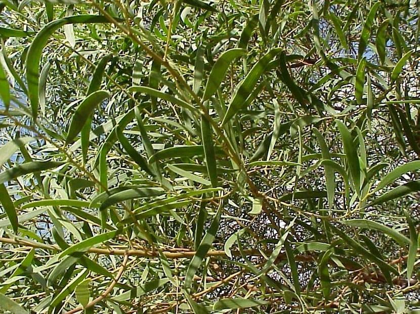 hojas alargadas de color verde de un arbusto