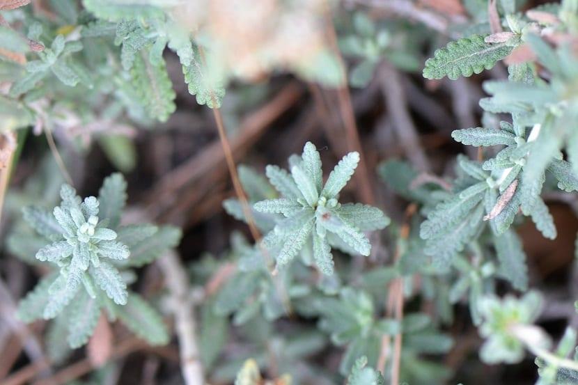 hojas de color verdoso claro que desprenden olor